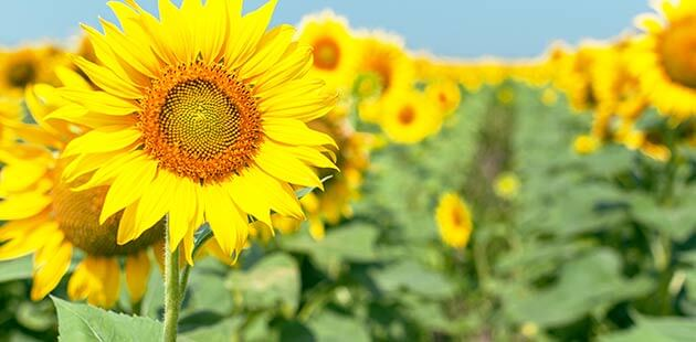 Sonnenblumenprotein
